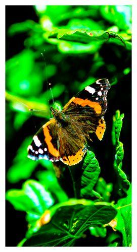 Wilgenstrueel of Brabantwonen Aluminiumprints the butterfly