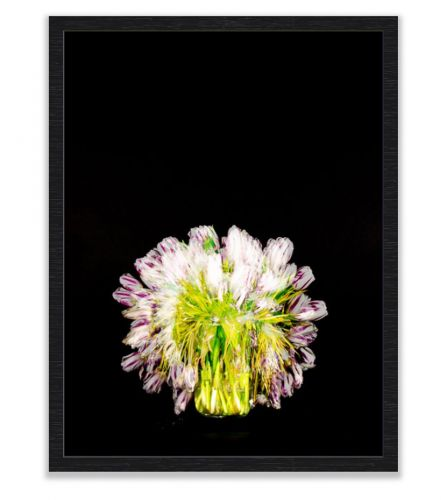 White and pink Tulips shot over 14 days framed in black frame