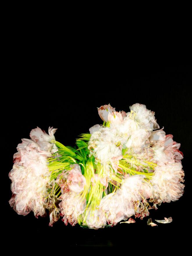 Pink Tulips shot over 14 days digital version 02