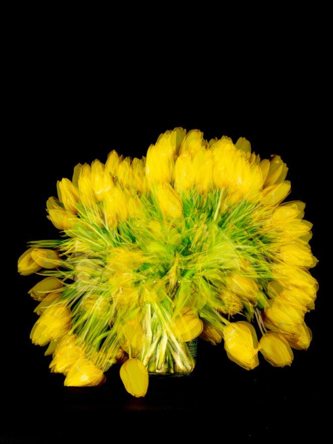 Yellow Tulips shot over 14 days digital version 10